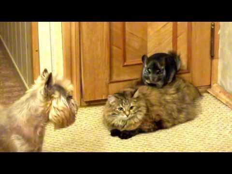 Chinchilla, cat and