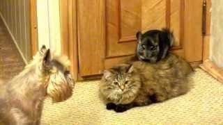 Chinchilla, cat and dog (Шиншилла, кошка и собака)