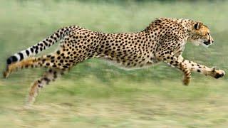 The World's Fastest Land Animal -  Cheetahs