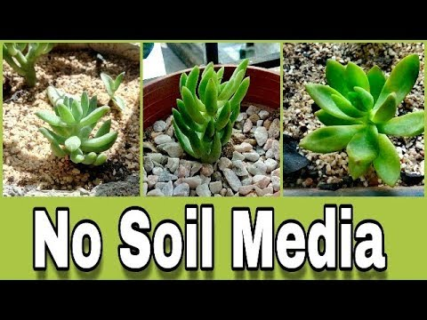 Growing Succulents IN No soil Media For batter Growth..