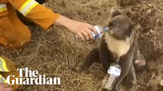'We're helpless': thousands of koalas probably dead after wildfires