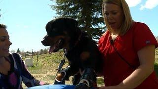 Rottweiler Brutus Walks Again