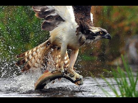 Osprey catching fish youtube for Osprey catching fish