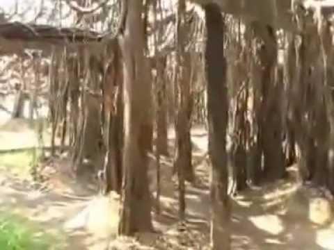 ไทรงาม Banyan tree Sai Ngam