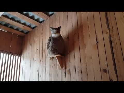 A Rare Blakiston's Fish Owl