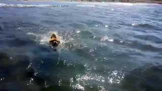 3 Year Old Pomeranian (like Boo) Zuri Swimming In The Sea Of Cortez In Loreto Bay Baja