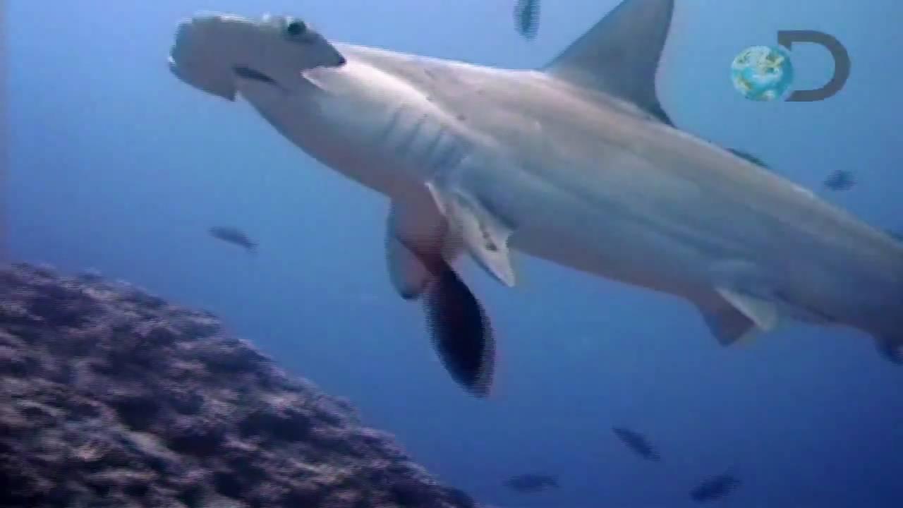 el gran tiburon martillo HD  YouTube