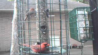 Blue Jay And Cardinals Backyard Feeder July 20