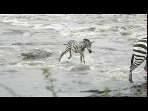 How a Baby Zebra fights a Crocodile  Unbelievable Animals