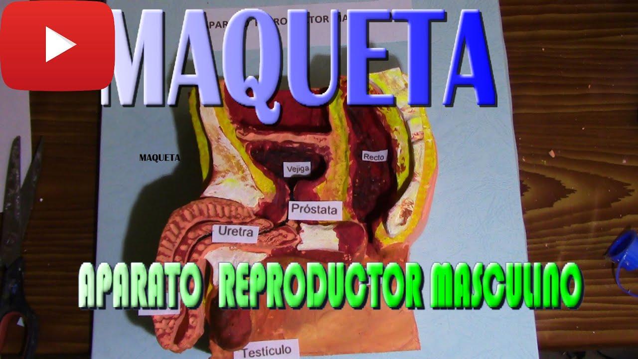 COMO HACER UNA MAQUETA DEL APARATO REPRODUCTOR MASCULINO #1