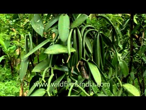 Vanilla planifolia - the source of Vanilla beans