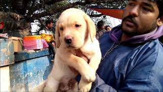 Show Quality Home Breed Labrador Retriever Puppy For Sale At Galiff Strteet