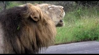 Unusual Lion Behavior (With 2 Sets of Roaring) - 14 January 2013 - Latest Sightings