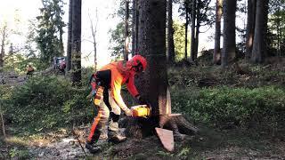 Spurce timber felling