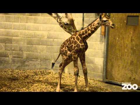 Giraffe calf born at Auckland Zoo