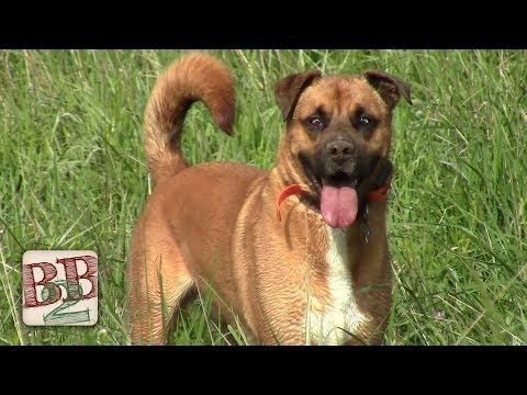 Electronic Dog Collars (Dogtra 2300 NCP) | Back to Basics Show