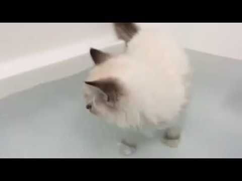 Ragdoll Kitten Bath