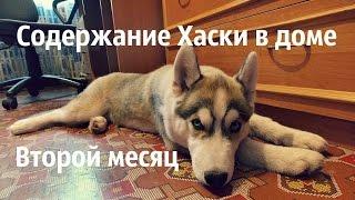 Содержание щенка Сибирского Хаски в доме. Второй месяц.