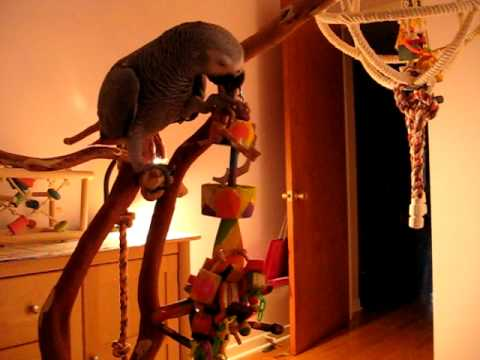 Exotic Wood Dreams Toys are Awesome! Emma my Congo African grey.