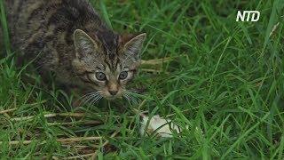 В Шотландии спасают редких лесных кошек