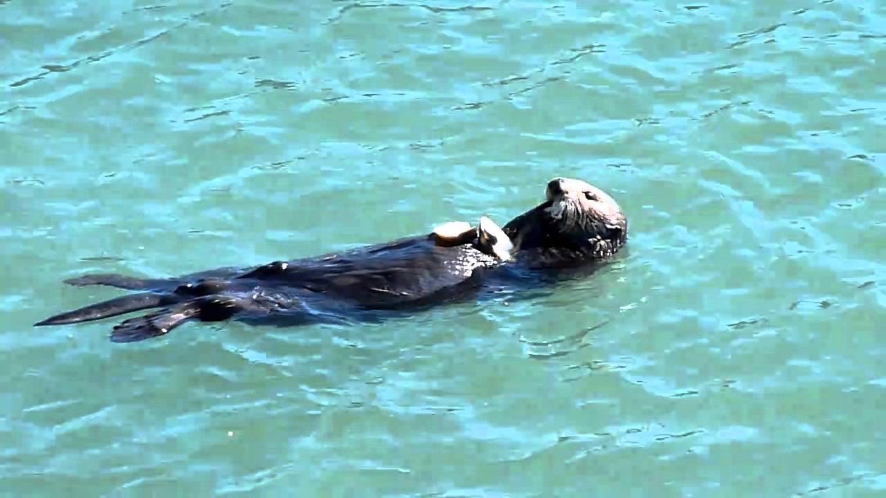 Sea otter eating clam - YouTube