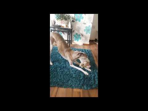 Slow motion video of dog playing. Shot with Samsung Galaxy S7