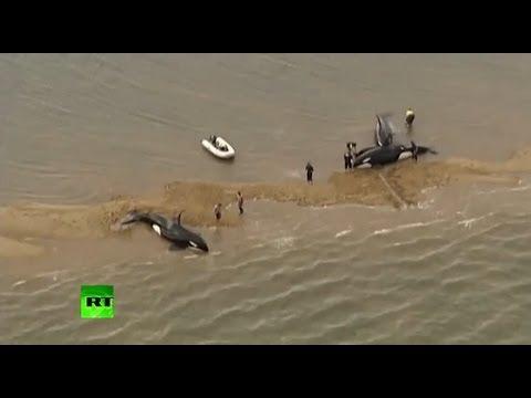 «Освободите Вилли»: австралийцы спасли жизнь косаткам на песчаной отмели