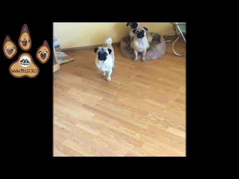 3 Spartan Pugs - The Best Dog Breed In The World