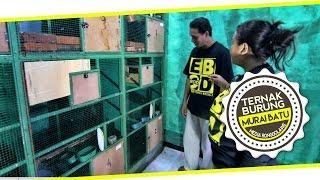 DUNIA HOBI : Mari Belajar Ternak Murai Batu di ZOONART BIRD FARM Surabaya