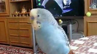 Говорящий попугайчик Вася - смотреть до конца :)