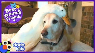 Golden Retriever Dog Loves His Duck Best Friend | Animal Videos For Kids | Dodo Kids