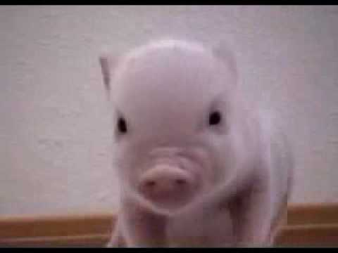 Cute baby pig - YouTube