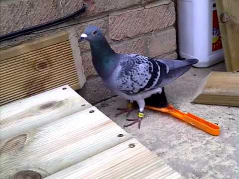 A Very Funny Friendly Pigeon :)