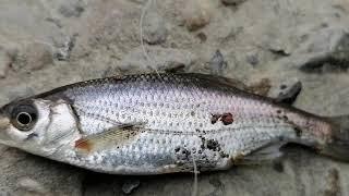 Рыбалка на реке Сочи плотва