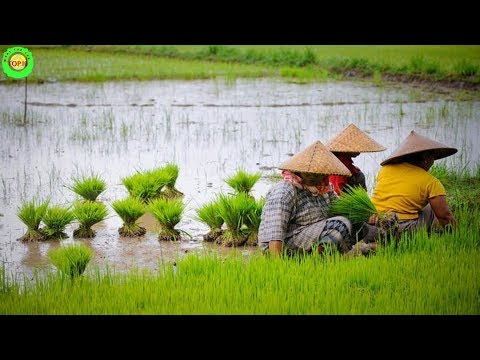 Top 10 Largest Rice Producing Countries in The World
