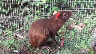 Common Agouti ( Dasyprocta )