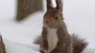 雪の中の元気なエゾリス Energetic squirrel in snow 白いエゾリス 検索動画 13
