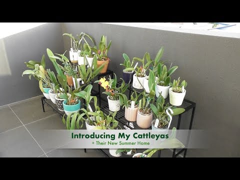 my-cattleyas:-intro-to-my-collection-their-new-summer-home