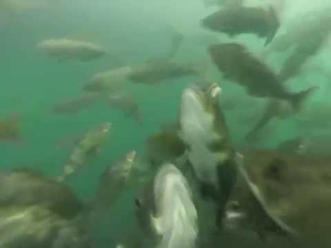 Atka Mackerel, Ettienne Bay, Attu Island, Aleutian Islands Alaska