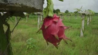 Auroch Dragon Fruit Project at Kharua Village, Abdasa Taluka, Kutch (Gujrat) INDIA