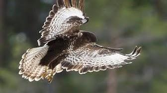 Common buzzard fights - Hiirihaukat kinastelevat