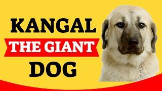 Dog Breeds | The anatolian sheperd or kangal, a giant dog.