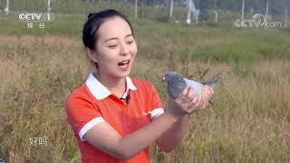 [正大综艺·动物来啦]三只鸽子都能顺利回家  CCTV