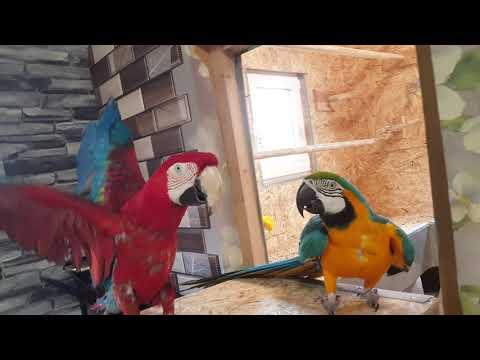 Видео: Ара сине-желтый, ара зеленокрылый, амазон краснолобый и пара роскошных горных попугаев