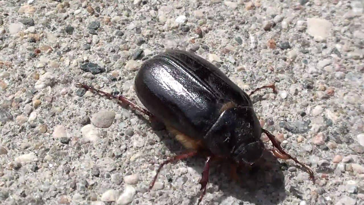 may beetle scarabaeidae phyllophaga locomotion youtube