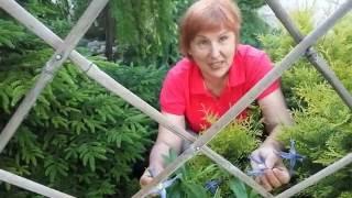 КАК РАЗМНОЖИТЬ КЛЕМАТИС Клематис - выращивание в картошке Совет от Клематис TV