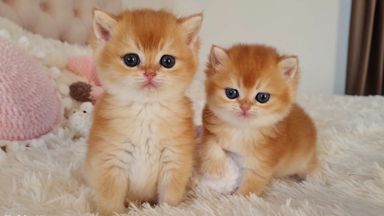 Two cute kittens Leo and Melania at the age of 1 month 😻