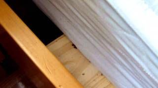bedbug frenzy during heat treatment