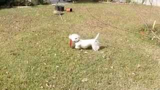 Westie and poodle playtime interrupts backyard remodel. Go Pro Hero...