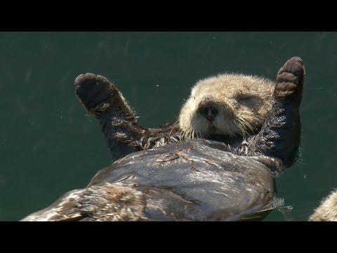 Matt Baker checks in on otter pups - Big Blue Live: Episode 3 - BBC One